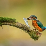PWP_Kingfisher_026