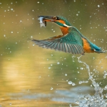 PWP_Kingfisher_027