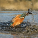 PWP_Kingfisher_028