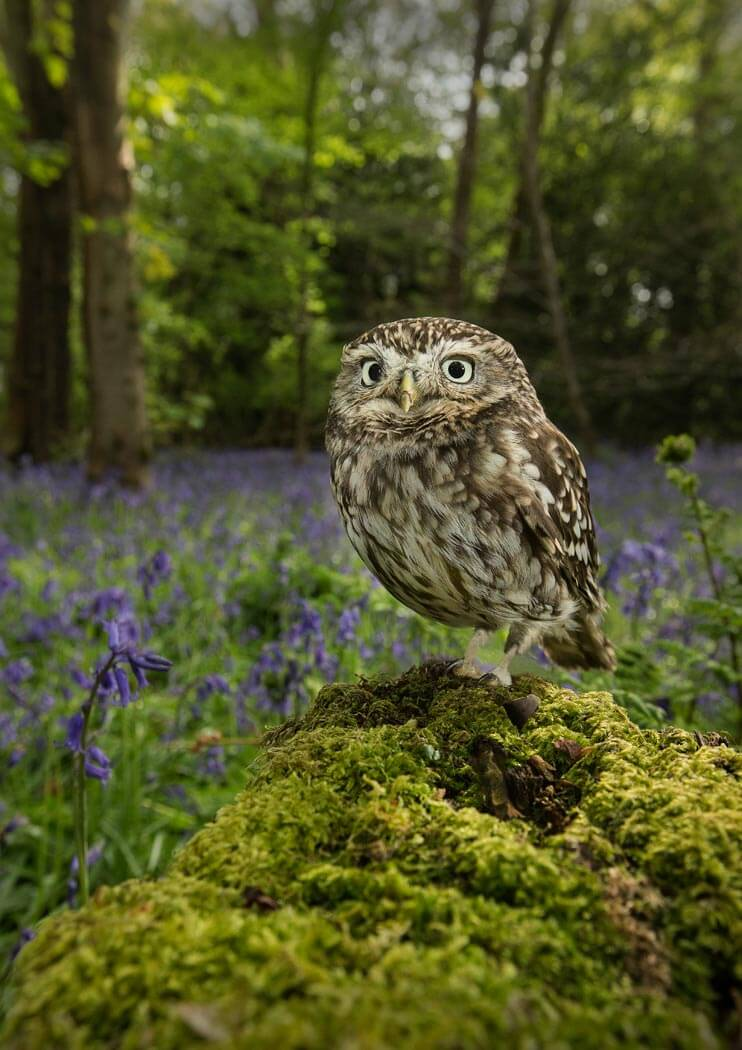 PWP_006_Little_Owl_AH0R7968A