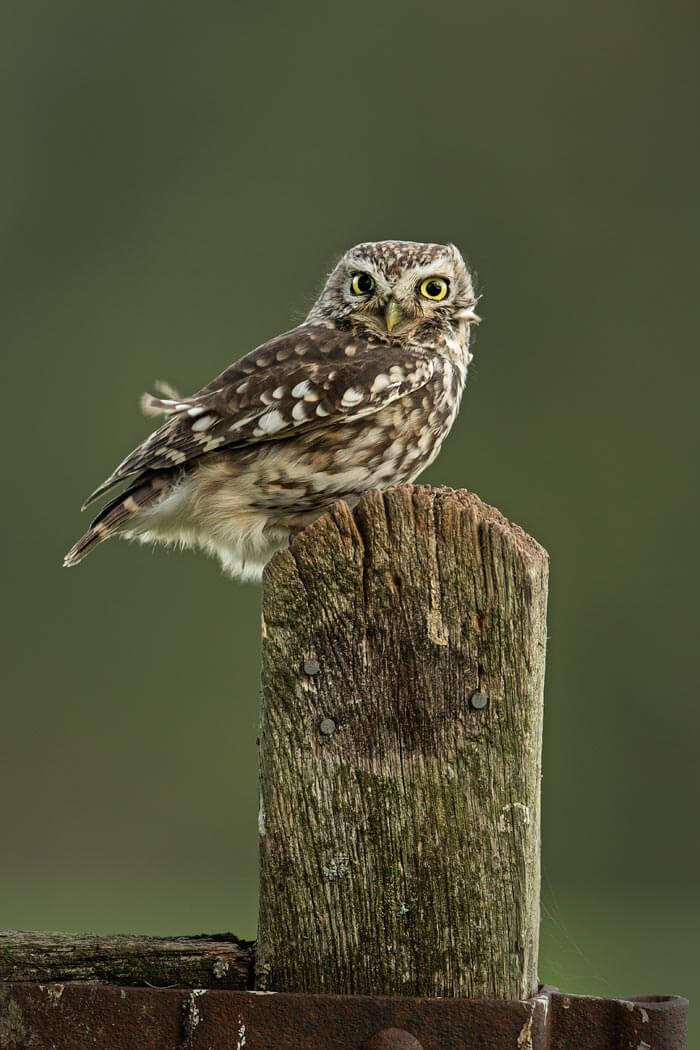 PWP_012_Little_Owl_PWP_001_Little_Owl__H0R5517A