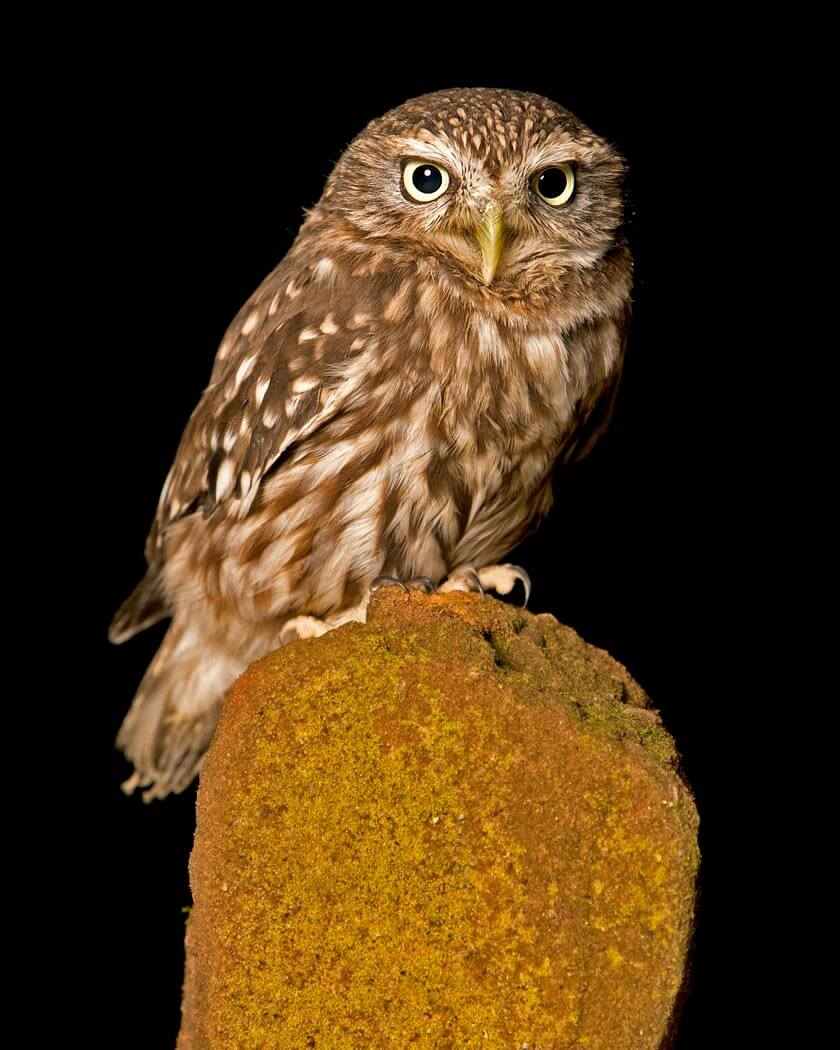 PWP_014_Little_Owl_PWP_003_Little_Owl_422