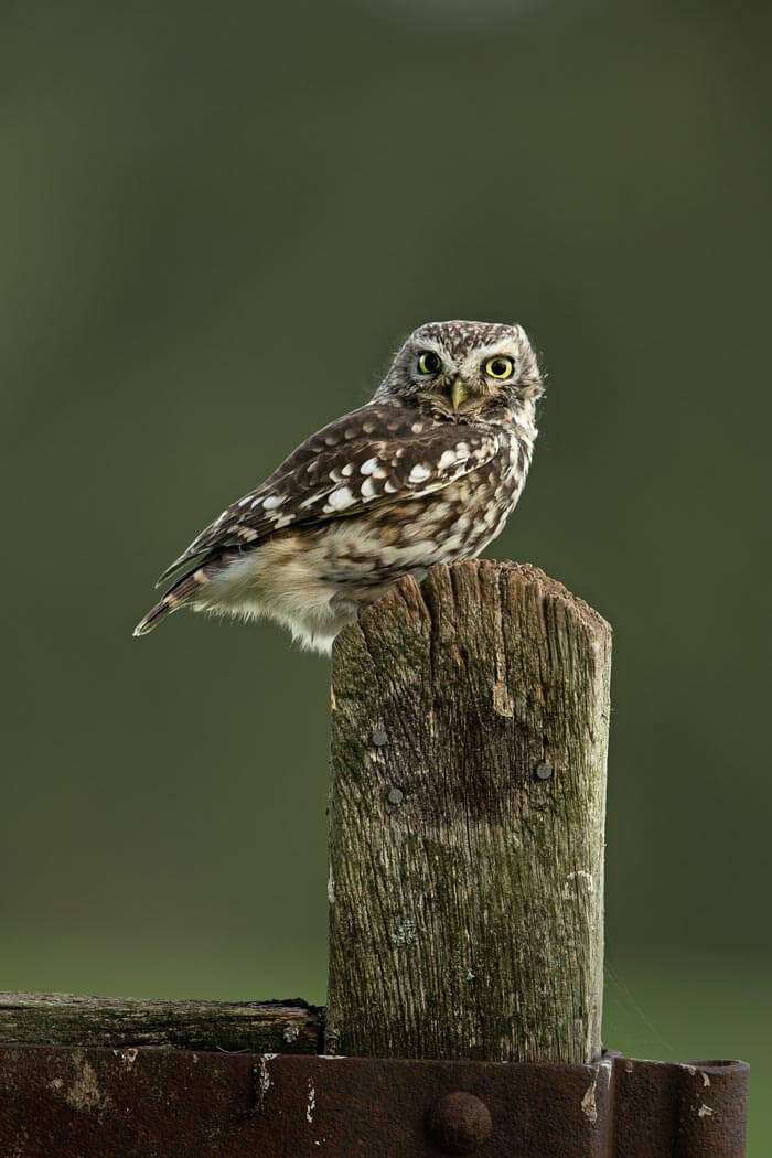 PWP_016_Little_Owl_PWP_005_Little_Owl_437