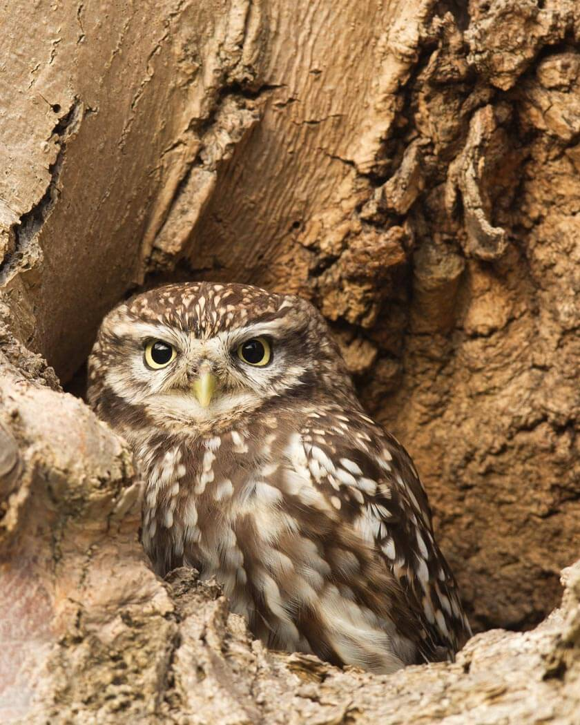 PWP_018_Little_Owl_PWP_007_Little_Owl_490