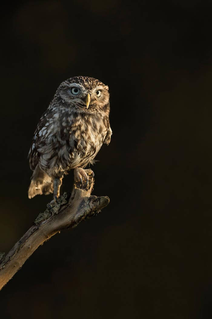 PWP_019_Little_Owl_PWP_008_Little_Owl_AH0R3688A
