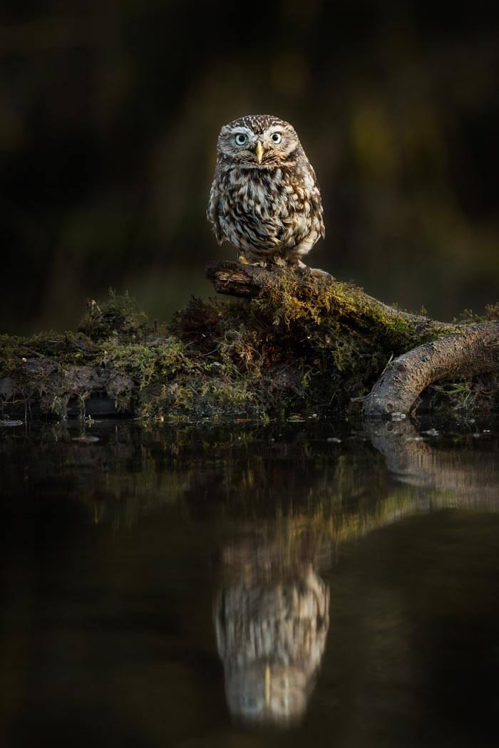 PWP_020_Little_Owl_PWP_009_Little_Owl_AH0R3735A