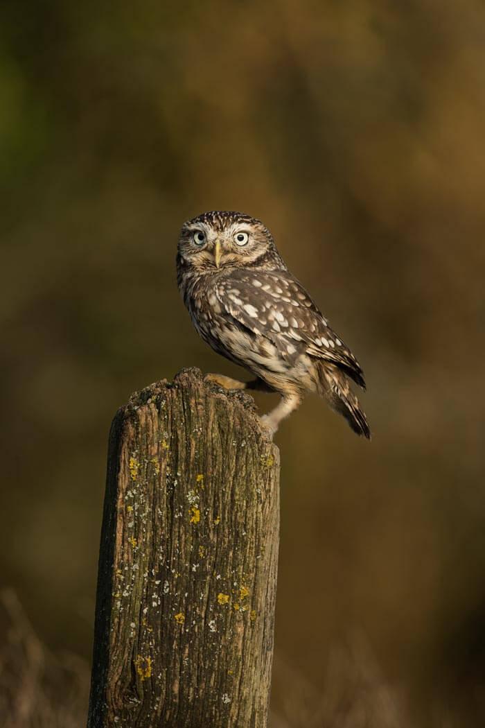 PWP_022_Little_Owl_PWP_011_Little_Owl_AH0R3851A