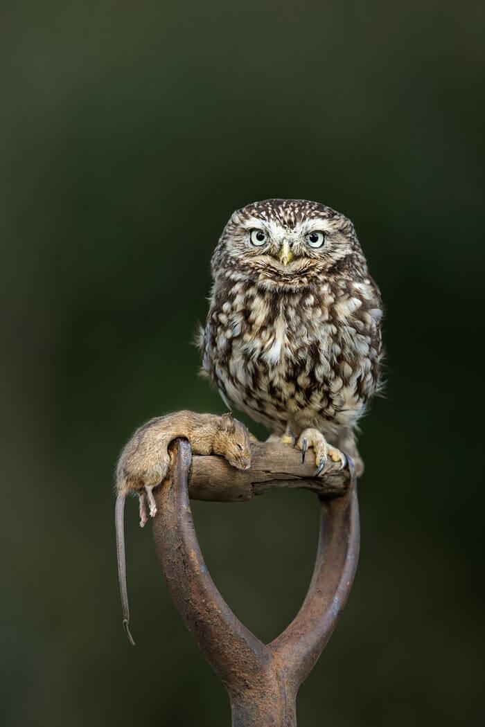 PWP_025_Little_Owl_PWP_014_Little_Owl_AH0R4724AA