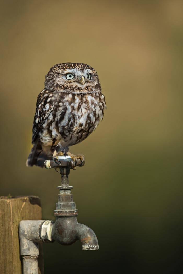 PWP_026_Little_Owl_PWP_015_Little_Owl_AH0R4802A