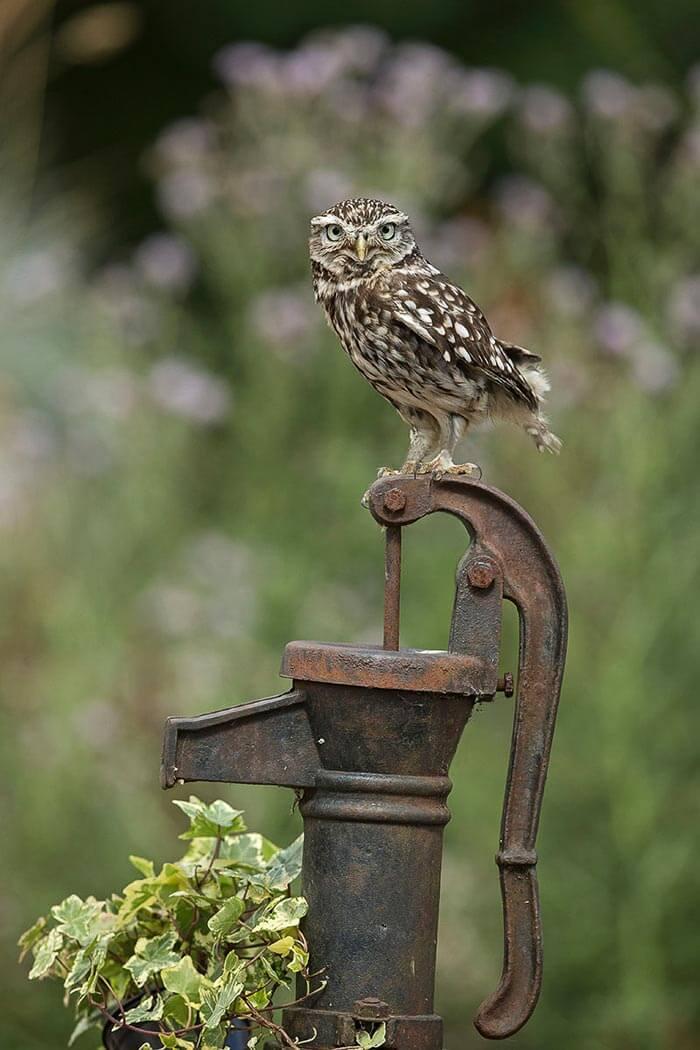 PWP_028_Little_Owl_PWP_017_Little_Owl_AH0R5871A_14