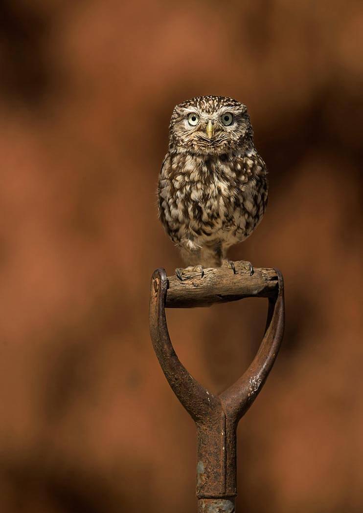 PWP_029_Little_Owl_PWP_018_Little_Owl_AH0R6034A_15