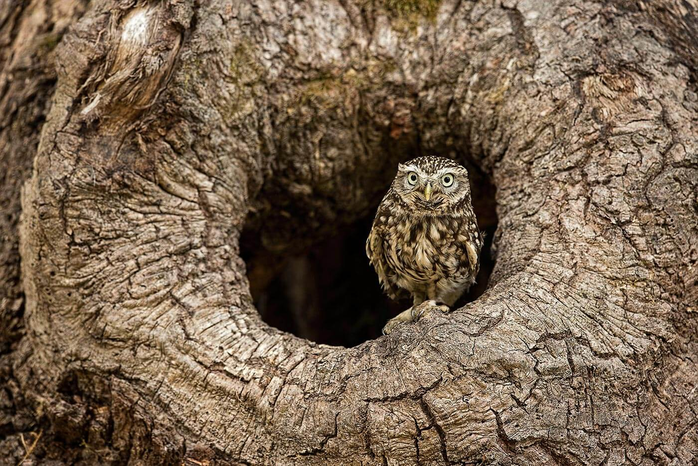 PWP_030_Little_Owl_PWP_019_Little_Owl_AH0R6152A_16