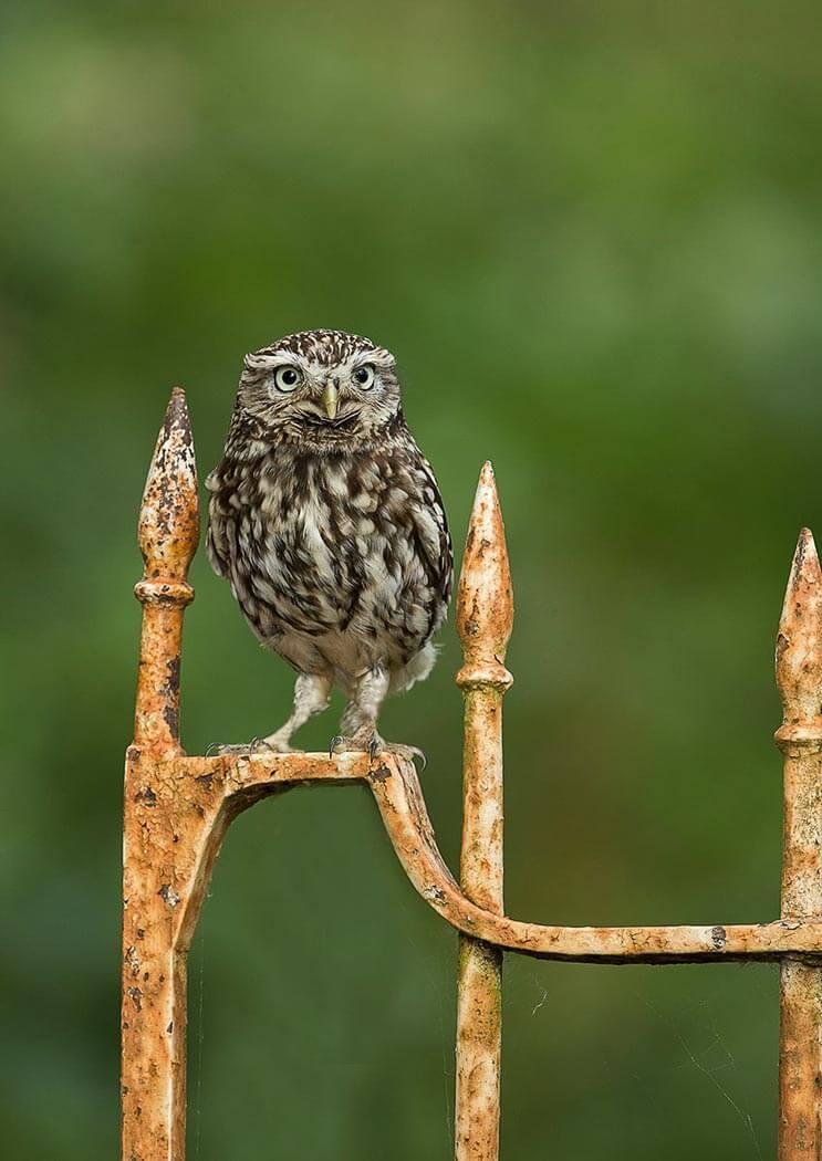 PWP_033_Little_Owl_PWP_022_Little_Owl_AH0R6367A_19