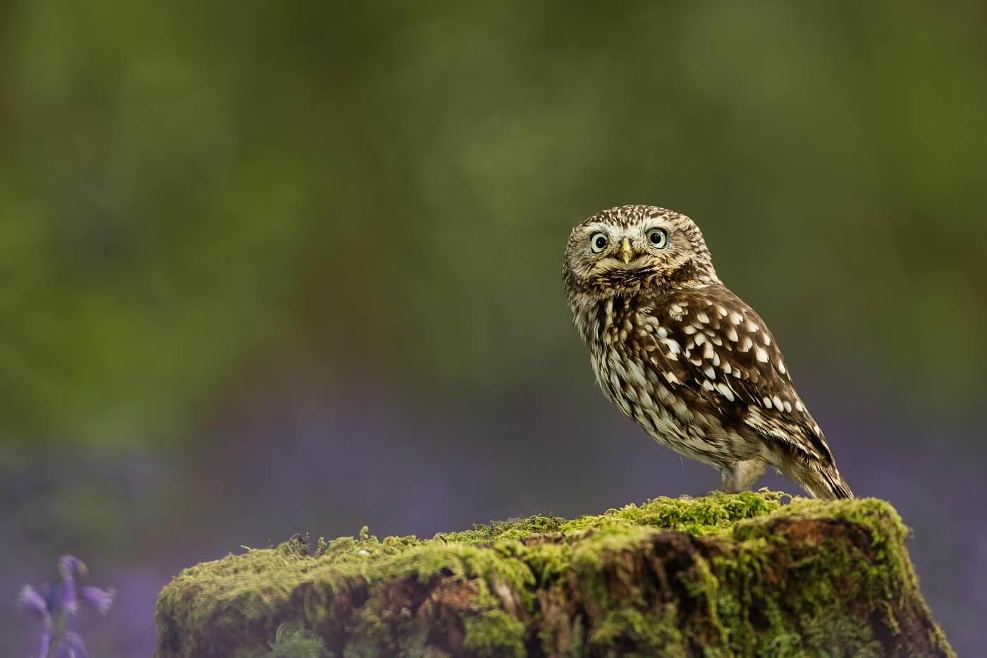 PWP_035_Little_Owl_PWP_024_Little_Owl_AH0R7898A