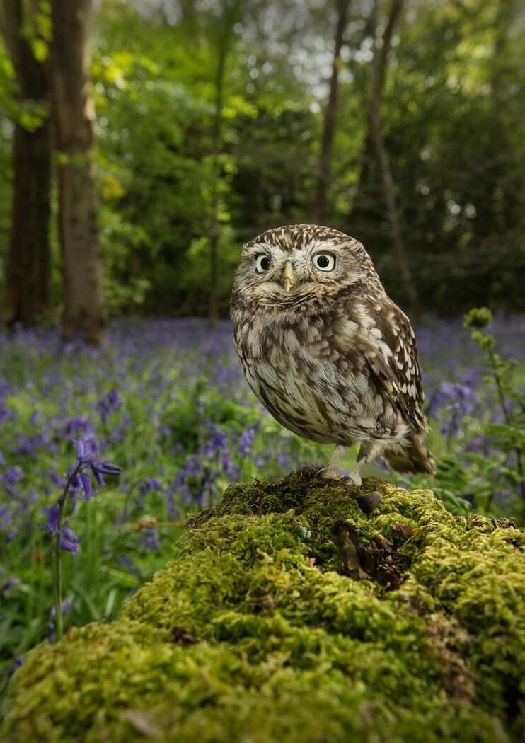 PWP_037_Little_Owl_PWP_026_Little_Owl_AH0R7968A