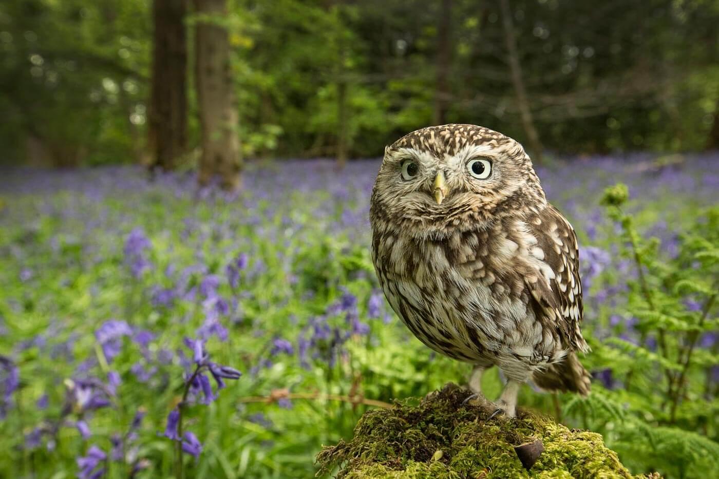 PWP_038_Little_Owl_PWP_027_Little_Owl_AH0R7976A