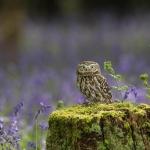 PWP_004_Little_Owl_AH0R7942A
