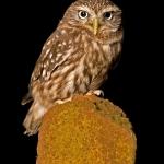 PWP_014_Little_Owl_PWP_003_Little_Owl_422