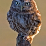 PWP_015_Little_Owl_PWP_004_Little_Owl_434