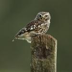 PWP_016_Little_Owl_PWP_005_Little_Owl_437