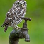 PWP_017_Little_Owl_PWP_006_Little_Owl_470