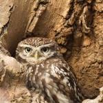 PWP_018_Little_Owl_PWP_007_Little_Owl_490