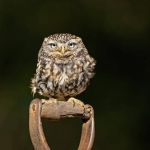 PWP_024_Little_Owl_PWP_013_Little_Owl_AH0R4592A