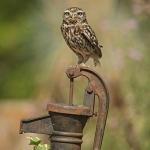 PWP_027_Little_Owl_PWP_016_Little_Owl_AH0R5854A_13