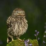 PWP_040_Little_Owl_PWP_029_Little_Owl_AH0R8545A