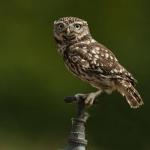 PWP_041_Little_Owl_PWP_030_Little_Owl_AH0R9268A