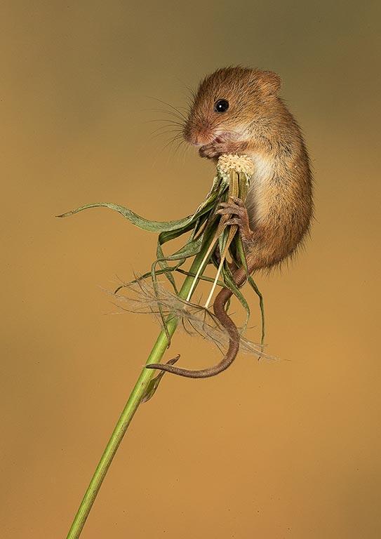 Mouse on dandelion stem