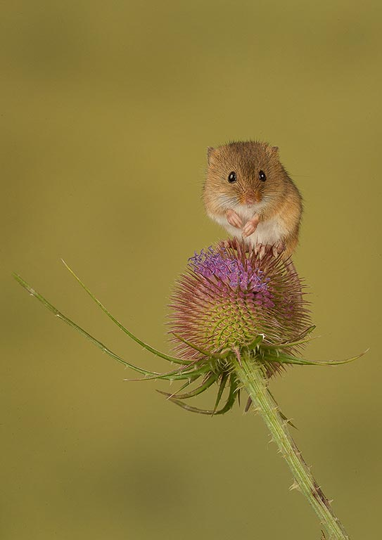 Mouse on thistle