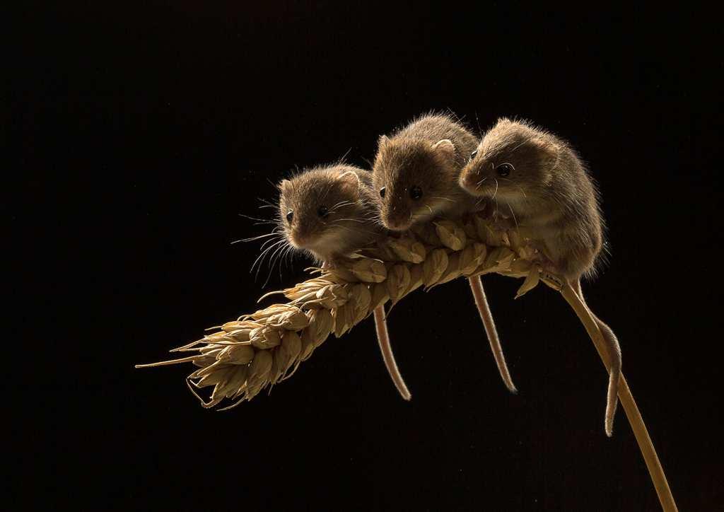 Three mice on corn