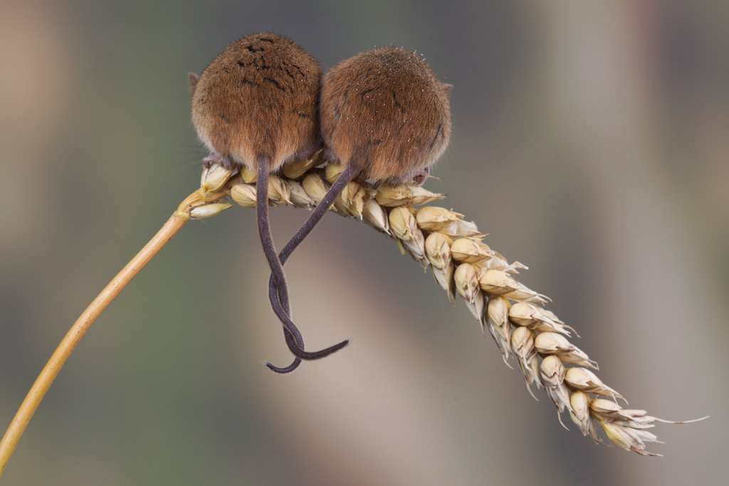 Two mice with tails entwined