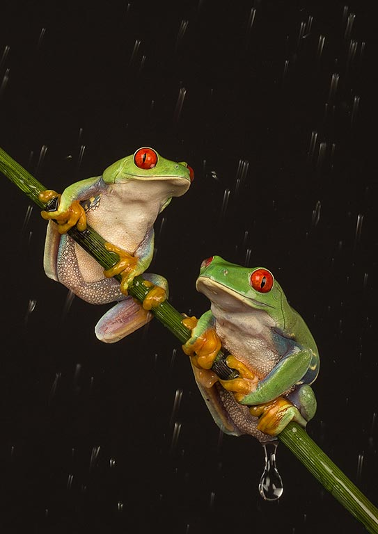 Pair of Tree frogs