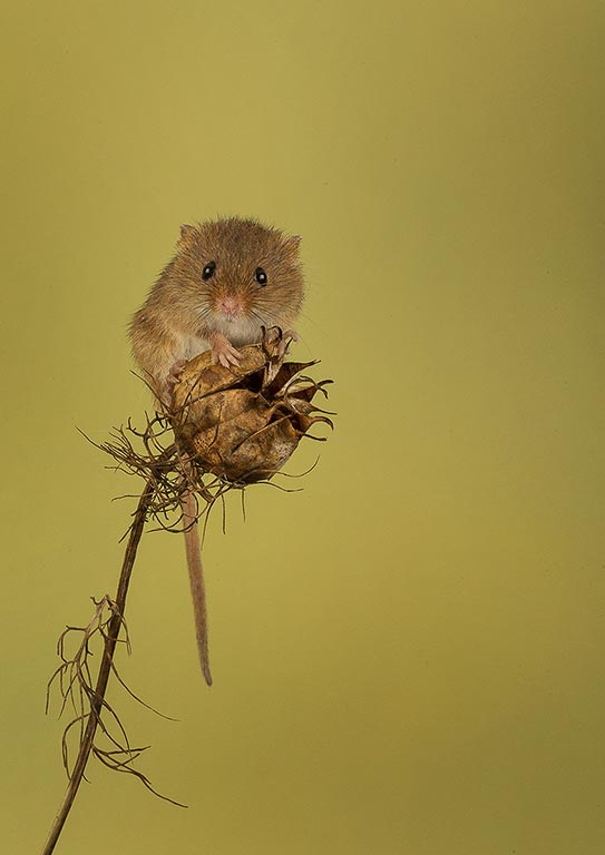 Mouse on top of seed pod
