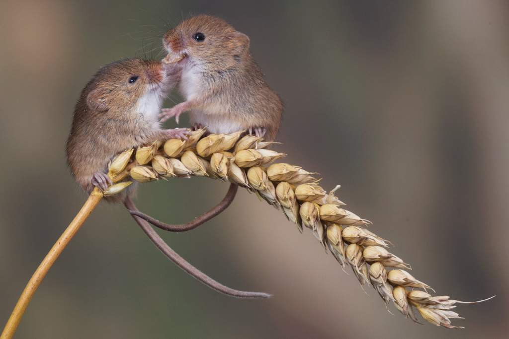 Pair of mice play on corn stem