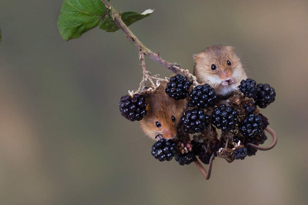 Mice eating blackberries