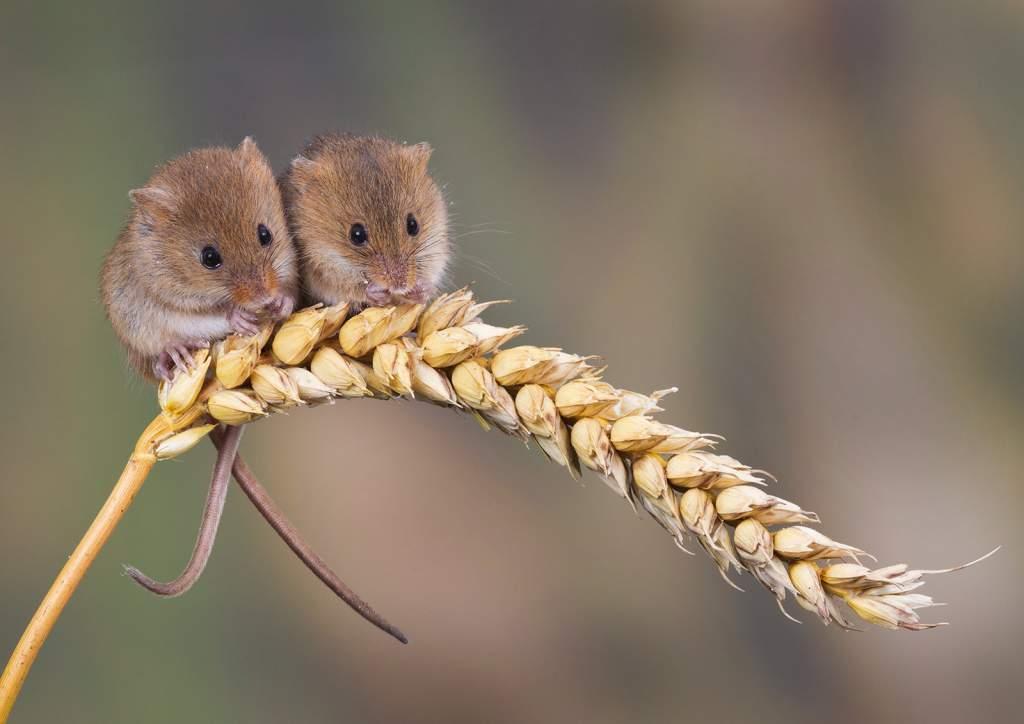 Mice eating corn
