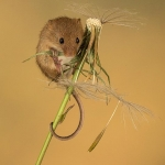 Mouse on dandelion stem