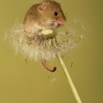 Mouse on top of dandelion head