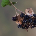 Mice eating blackberries