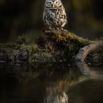 PWP_020_Little_Owl_PWP_009_Little_Owl_AH0R3735A