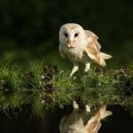 PWP_1400x1050_Barn_Owl_21_022