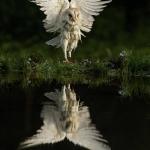 PWP_1400x1050_Barn_Owl_34_035