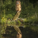 Reflection-Pool-Brown-Owl
