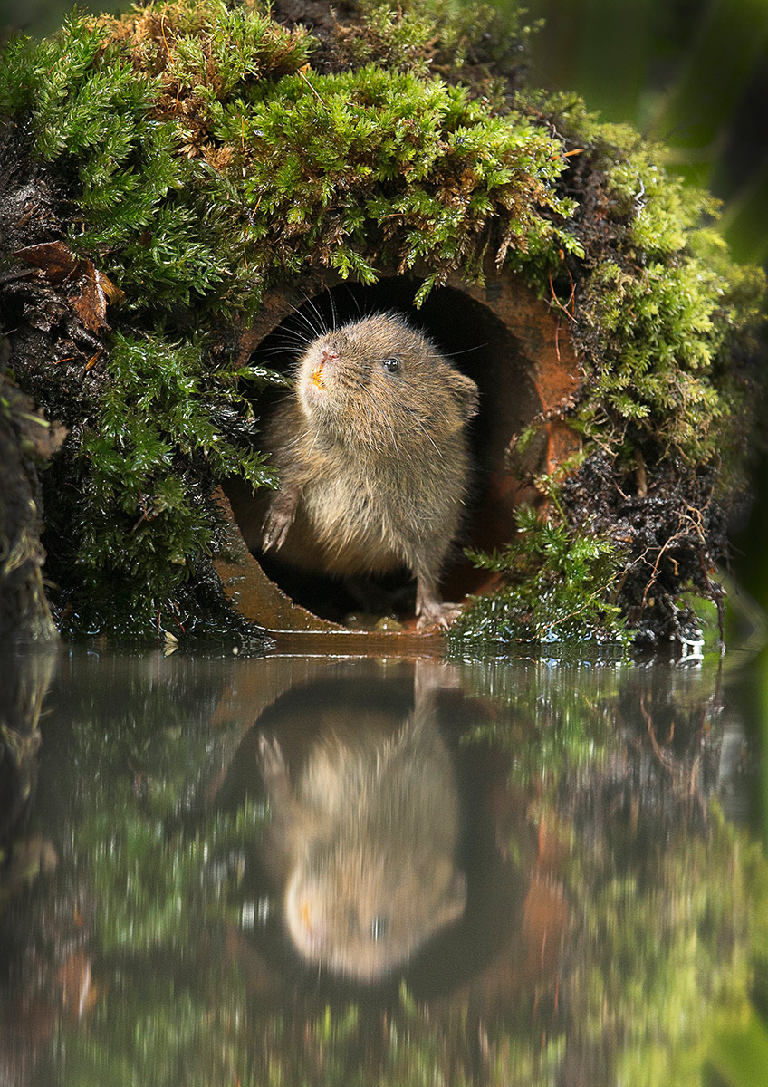 Water vole emerging from bank