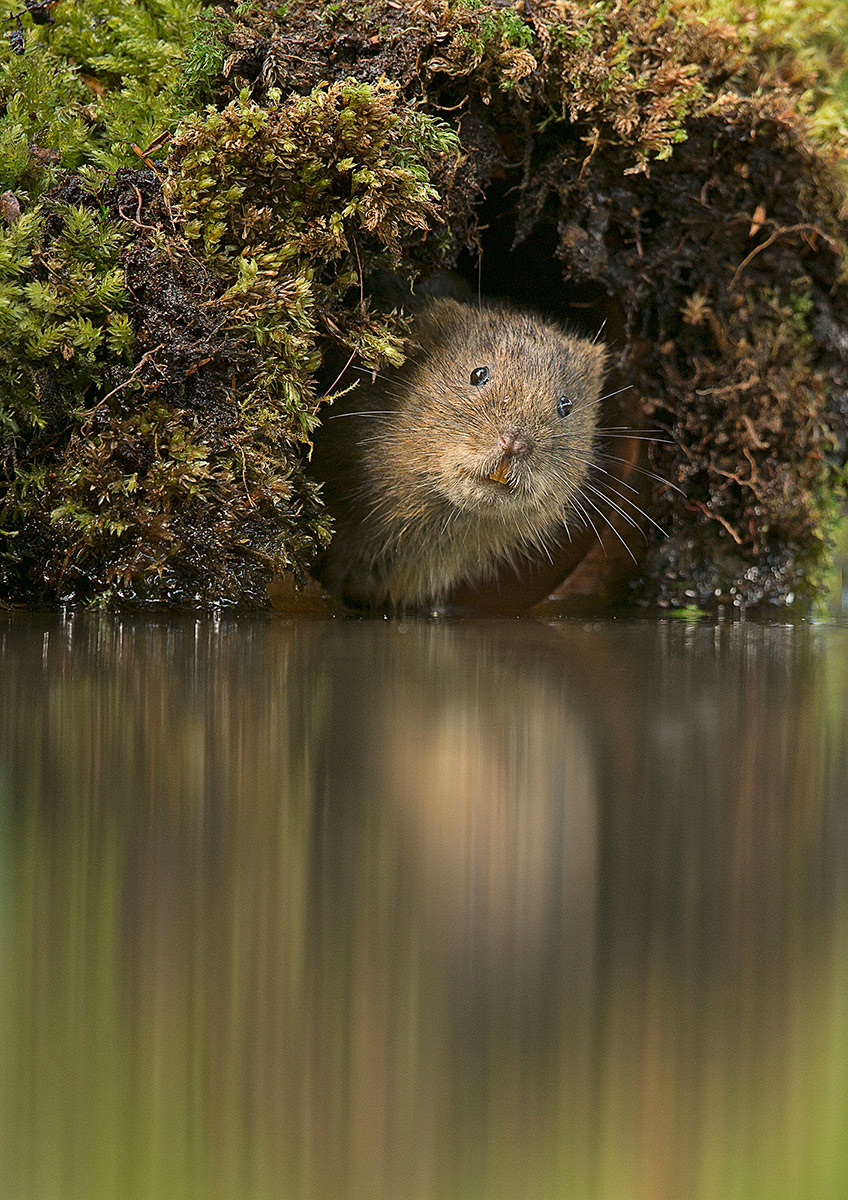 Water vole on bank