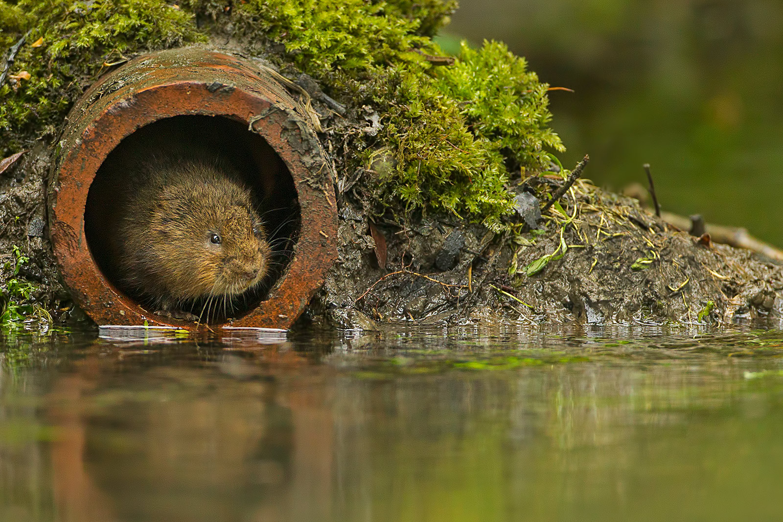 Water vole in entrance