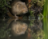 Water vole and reflection
